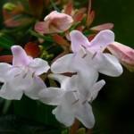 Абелія крупноквіткова або китайська - догляд.