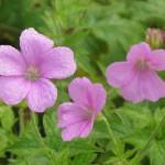 Садова герань - поширені види квітів, посадка.