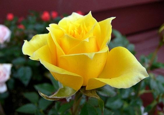 Садимо троянди навесні - агротехніка.