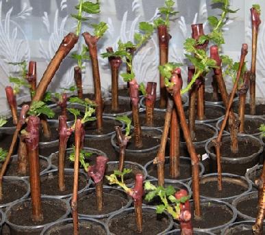 Виноград і його розмноження живцями або пророщування чубуків