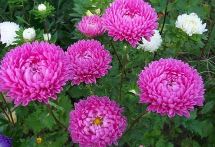 Квіти айстри для літнього цвітіння - фото.