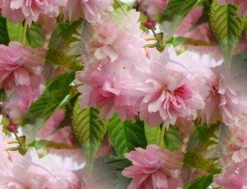 Вирощування і догляд дерев сакури в саду