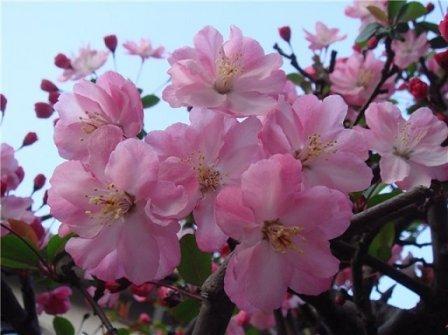 Цвіте сакура рожевими квітами, як на фото