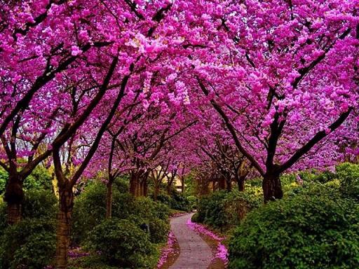 Дерево сакура можна виростити на дачі