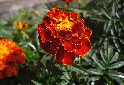 Квіти чорнобривці, що цвітуть влітку.