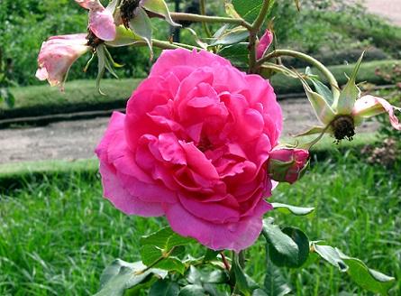 Літом цвітуть плетисті троянди - фото