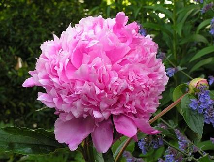 Для літнього цвітіння - півонії.