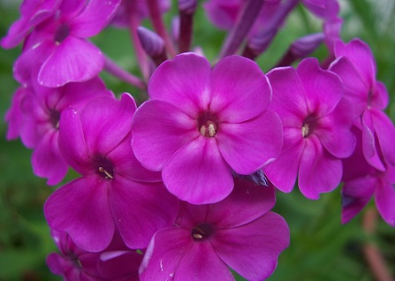 Квіти флокси, які квітнуть літом.