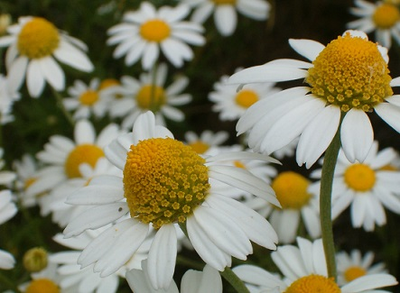 Квіти ромашки, які цвітуть на протязі літа - фото.