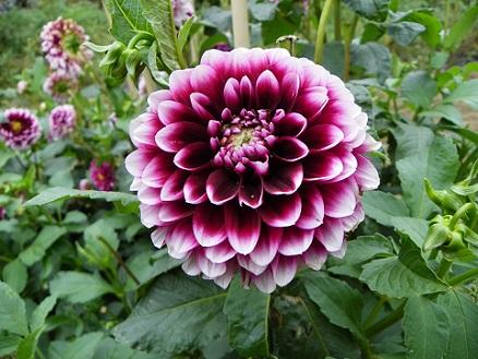 Квіти жоржини, які квітнуть на протязі всього літа.