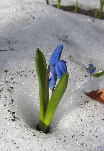 Проліски - перші цвітуть навесні.