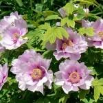 Півонія деревовидна - посадка весною і догляд для рясного цвітіння квіток