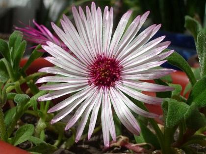 Доротеантус стокроткоподібний - вирощування і догляд
