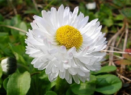 Стокротки або маргаритки квітнуть літом.