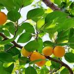 Як посадити абрикосовий сад - технологія