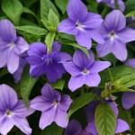 Броваллія - квітка, догляд, види і розмноження