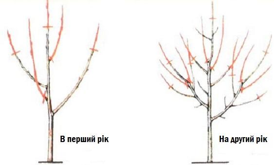 Обрізка абрикосу і формування крони.