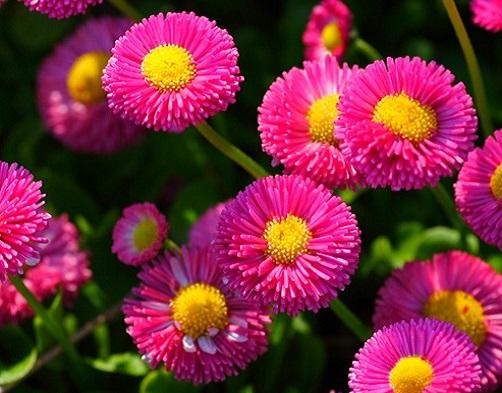 Маргаритки або стокротки - розмноження і вирощування в саду