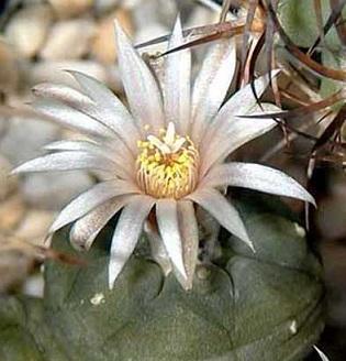 На фото Лофофора Єжиста - кактус