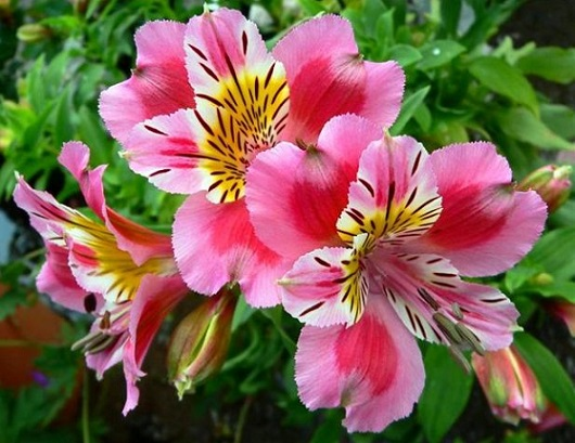 Квітки альстромерія, як виростити з насіння