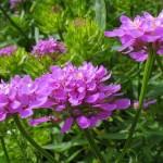 Іберіс - квітки, фото і насіневе вирощування