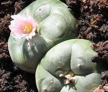 На фото Лофофора Вільямса - кактус