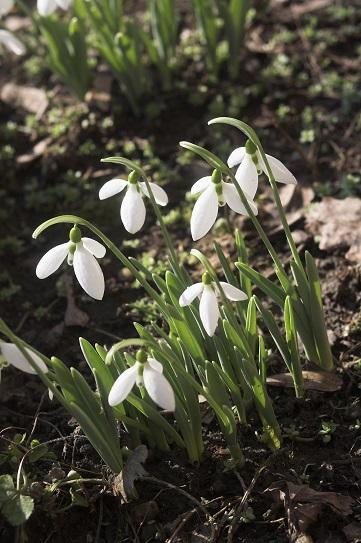 Перші цвітуть на весні - підсніжники на фото.