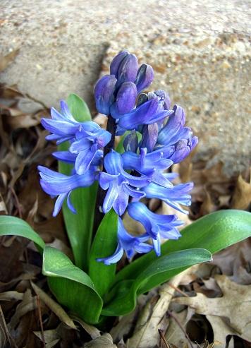 Гіацинти також квітнуть весною