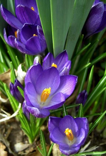 Крокуси цвітуть весною.