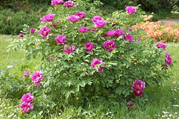 Фото рожевих деревовидних півоній