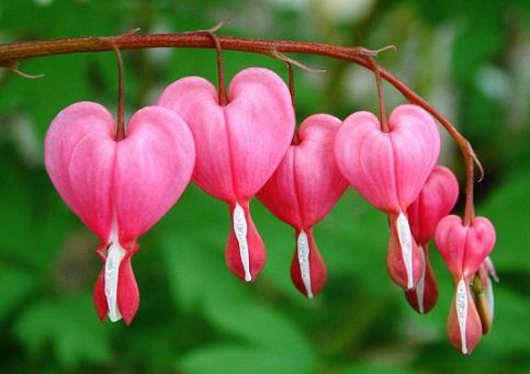 Фото діцентри рожевої.