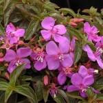 Квіти цетраденія для кімнати і саду