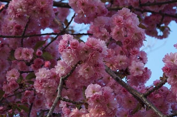 Національний ботанічний сад в м. Києві - цвітіння сакури