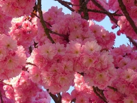 На фото дерево сакури з гарним цвітінням