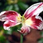 Що робити після цвітіння тюльпанів з цибулинами?