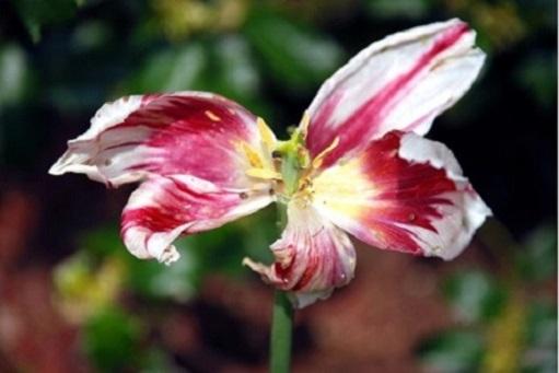 Відцвіли тюльпани, що будемо робити далі