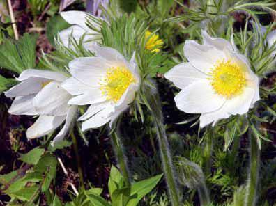 Опис і легенда квітки - сон трава.