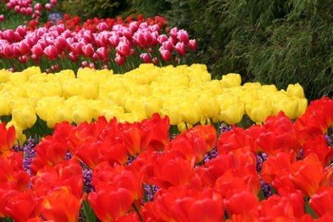 Зберігаємо цибулини тюльпанів після цвітіння до наступного року.
