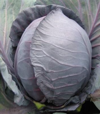 Сорти і вирощування білокачанної капусти