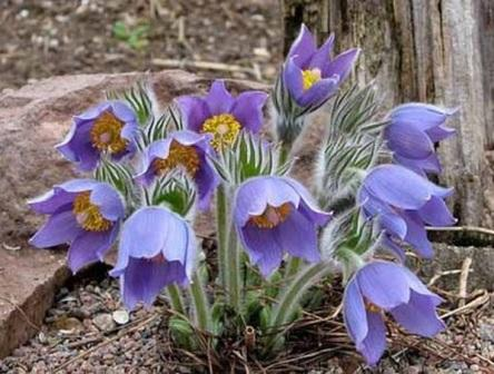 Сон трава - легенда, фото і опис квітки