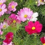 Догляд, розмноження і посадка квітки космеї