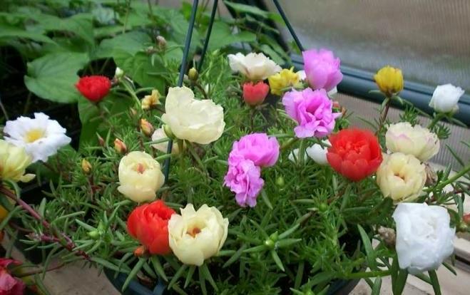 Квіти портулак - догляд і посадка.
