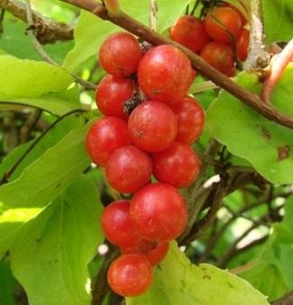 Фото плодів лимонника китайського.