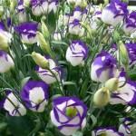 Насіневе вирощування еустоми