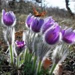 Сон трава, повний опис, легенда і фото