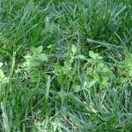 Як боротися з бурянами газону і мохом?