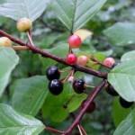 Крушина ламка або вовчі ягоди.