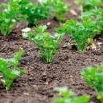 Як прополоти рослини на городі?