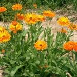 Лікарська рослина календула - лікувальні властивості