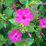 Квітка вечірнього цвітіння мірабіліс чи нічна красуня?